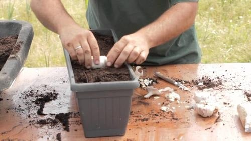 زراعة الثوم - كيف تزرع نبات الثوم في المنزل بكميات كافية لاستخداماتك