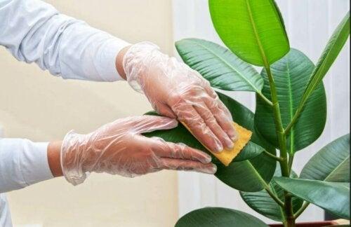 كيفية تنظيف أوراق النباتات المنزلية بفعالية