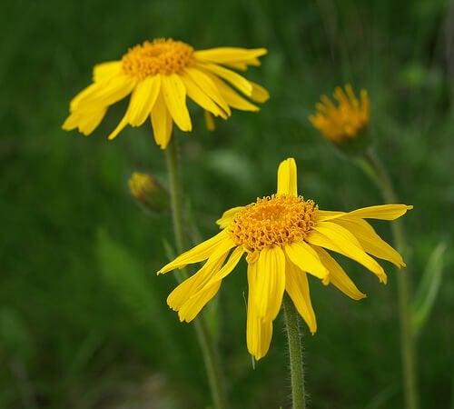 زهرة العطاس الصفراء
