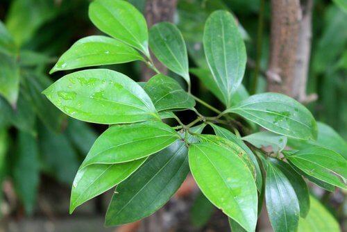 أوراق شجرة القرفة الخضراء