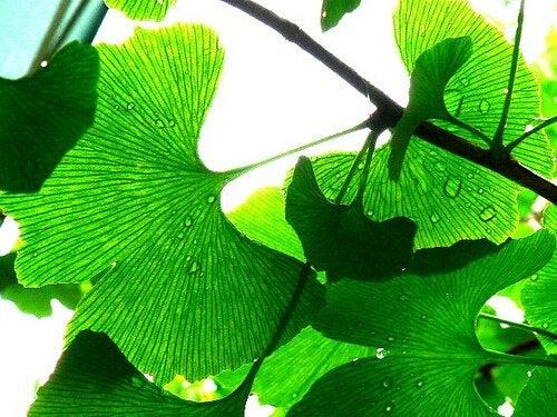 نبات الجنكة بيلوبا