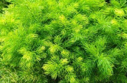 نبات شاتافاري