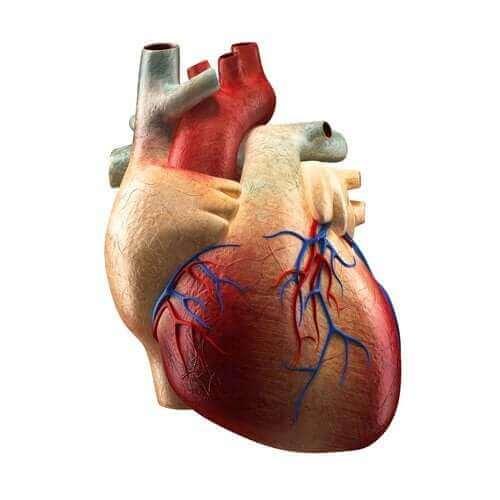 اكتشف معنا اليوم أجزاء القلب المختلفة ووظائفها