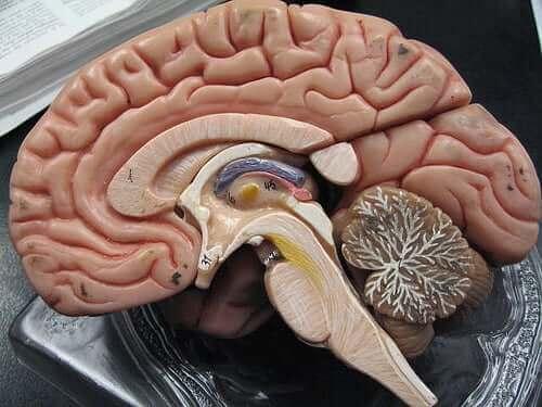 الأغشية الدماغية