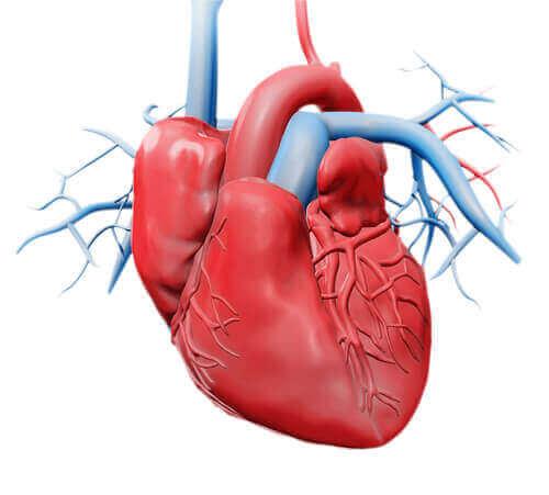أجزاء القلب الأخرى: الصمامات