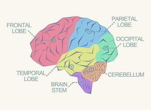 فصوص الدماغ – اكتشف معنا ما هي ووظائف كل منها