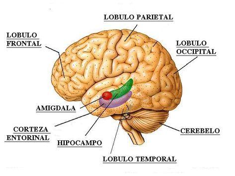 وظائف فصوص الدماغ