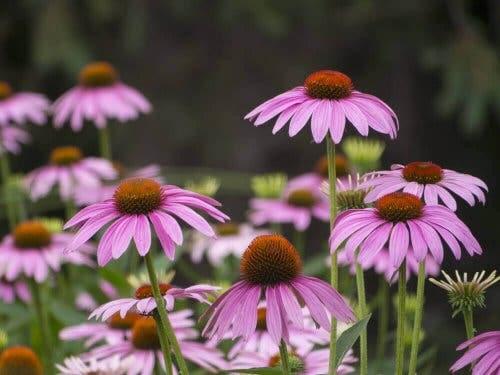 الأزهار الصيفية - زهرة إبرة الراعي