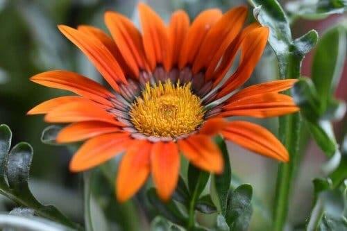 زهرة الغازانيا