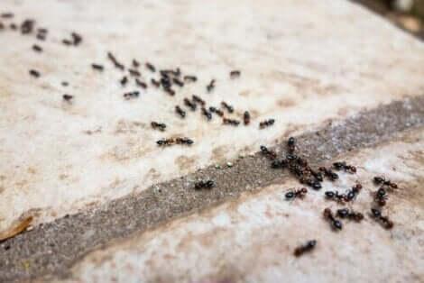 المواد الطبيعية الطاردة للنمل