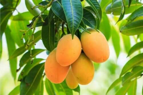 فاكهة المانجو