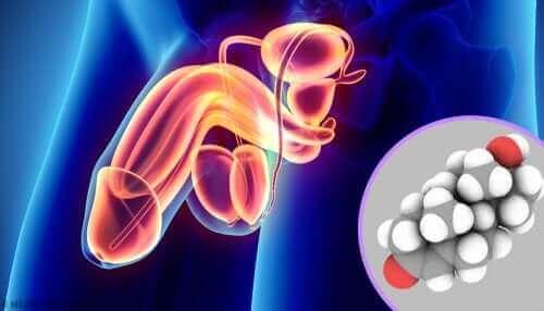 العضو الذكري وإنتاج الهرمونات الجنسية في الخصيتين
