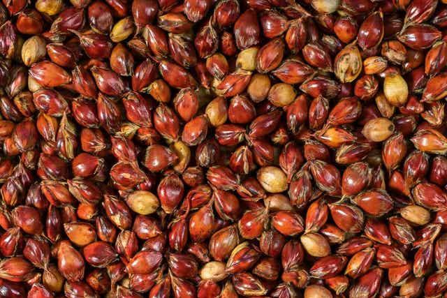 خصائص الذرة البيضاء الغذائية